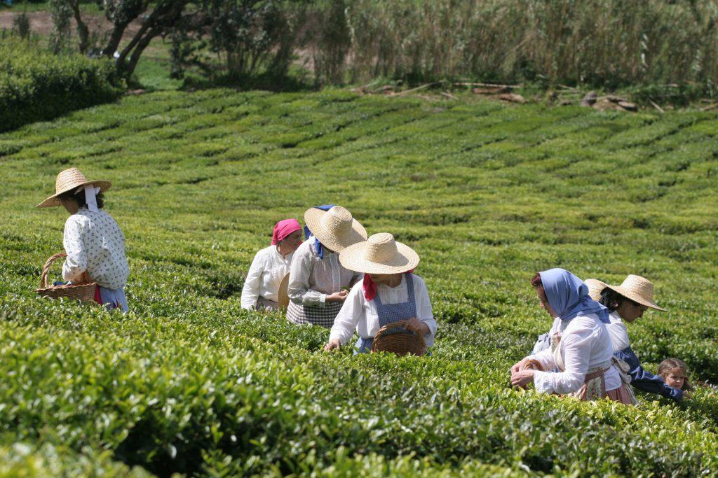 Fábrica de chá Porto Formoso